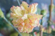 Carnation Double Yellow 30 Seeds, Dianthus - Bloom all summer long